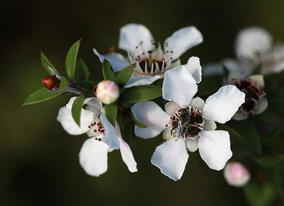 A native New Zealand bee (probably Leioproctus sp.) visits a manuka flower (Leptospermum scoparium) on on Tiritiri Matangi Island. © Avenue