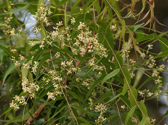 Azadirachta indica, flowers and leaves.