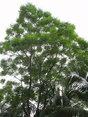 A Neem tree.